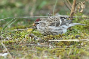 Grote Barmsijs; Mealy Redpoll